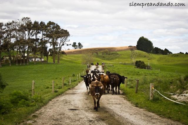 En una granja de Te Hana.